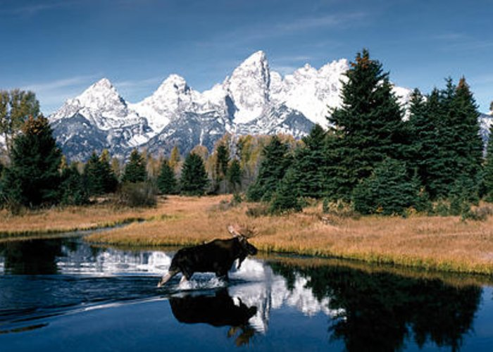 Photography Greeting Card featuring the photograph Moose & Beaver Pond Grand Teton by Panoramic Images