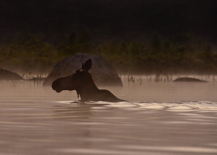 Moose Greeting Card featuring the photograph Moose Swim by Brent L Ander