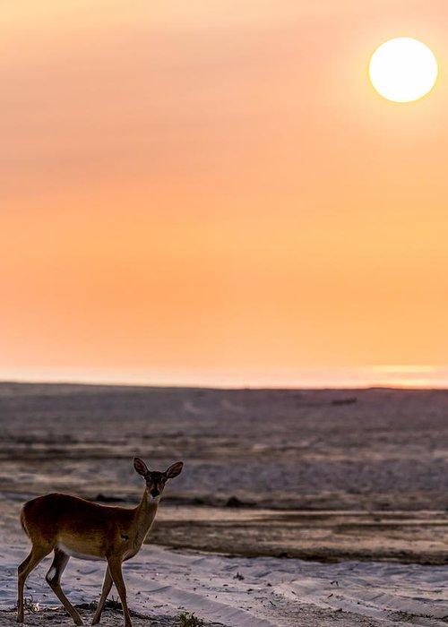 Deer On Beach Photographs Greeting Cards