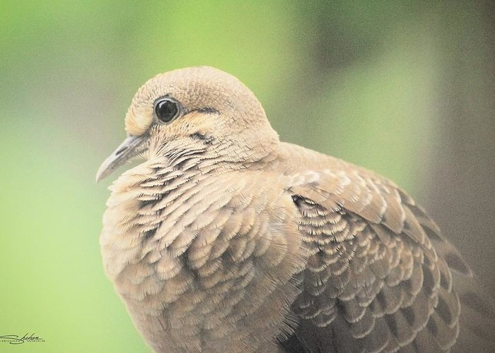 Morning Greeting Card featuring the photograph Morning Dove by Shehan Wicks