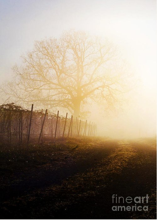 Fog Greeting Card featuring the photograph Morning Vineyard by Shannon Beck-Coatney