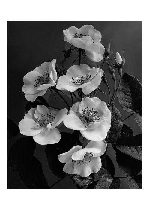 Flowers Greeting Card featuring the photograph Moschata Alba by J. Horace McFarland