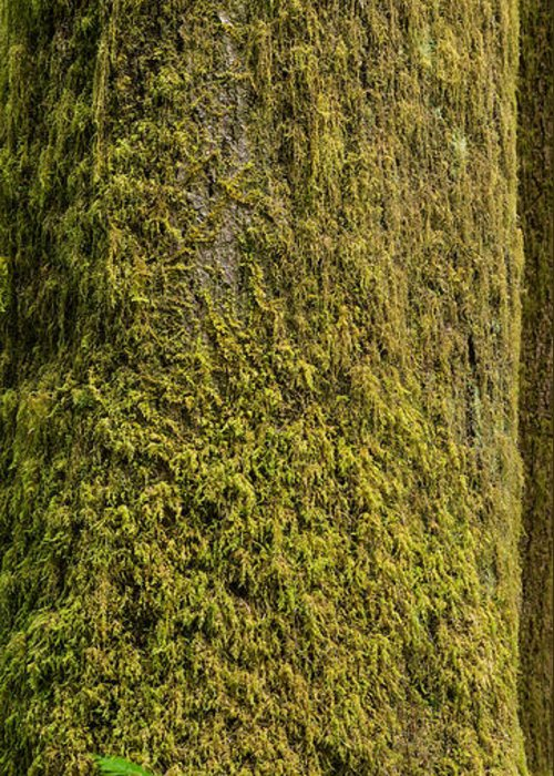 Moss Greeting Card featuring the photograph Moss Covered Tree Olympic National Park by Steve Gadomski
