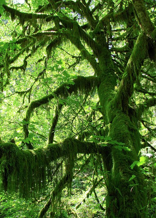 Trees Greeting Card featuring the photograph Mossy Tree by Athena Mckinzie
