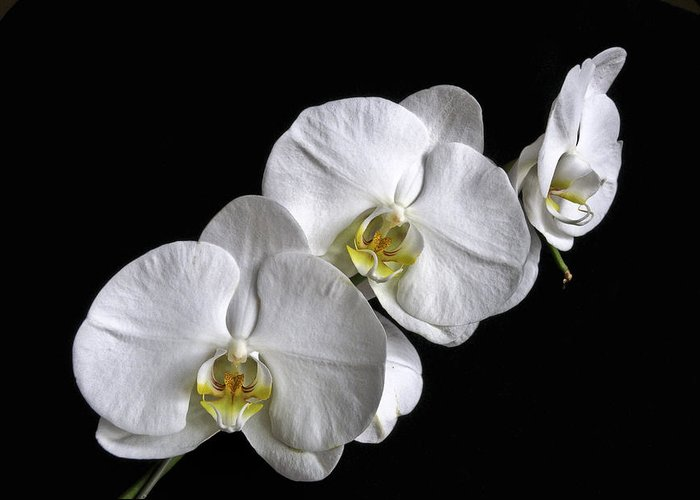 White Moth Orchid Greeting Card featuring the photograph Moth Orchid Trio by Ron White