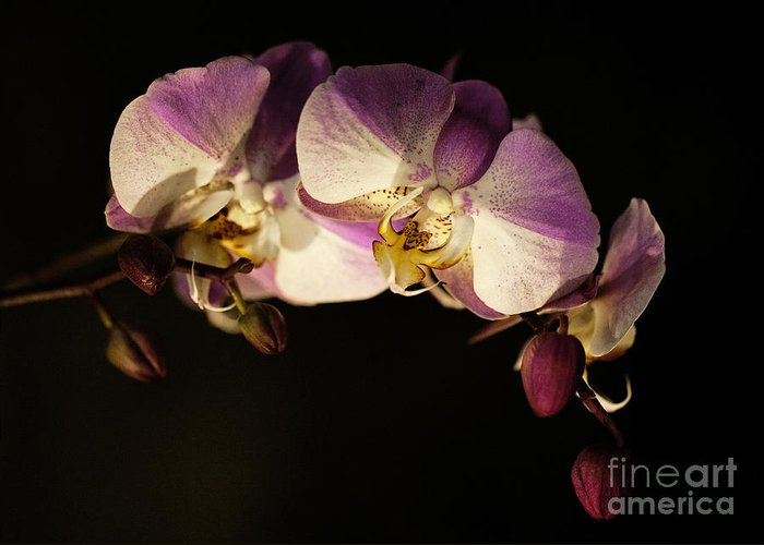 Moth Orchids Greeting Card featuring the photograph Moth Orchids by Emma England