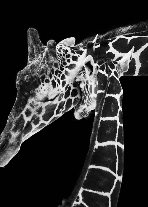3scape Photos Greeting Card featuring the photograph Mother And Baby Giraffe by Adam Romanowicz