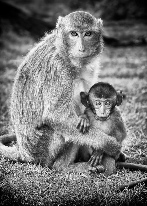3scape Photos Greeting Card featuring the photograph Mother And Baby Monkey Black And White by Adam Romanowicz