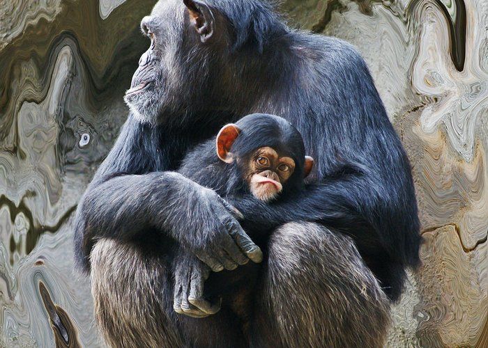 Chimpanzee Greeting Card featuring the photograph Mother And Child Chimpanzee 2 by Daniele Smith