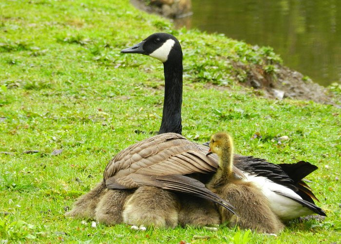 Canada Geese Greeting Card featuring the photograph Mother Goose by Bruce Brandli
