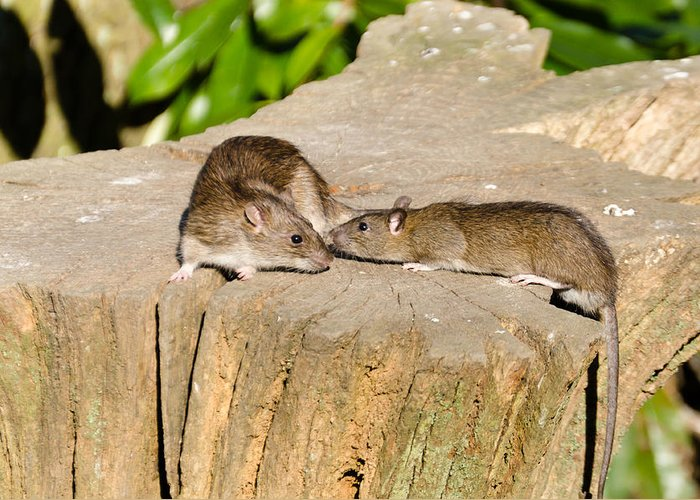 Animal Greeting Card featuring the photograph Mother Rat With Youngster by David Head