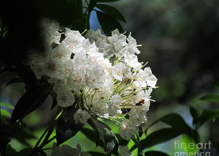 Mountain Laurel Greeting Card featuring the photograph Mountain Laurel II by Lili Feinstein