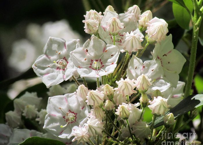 Mountain Laurel Greeting Card featuring the photograph Mountain Laurel by Lili Feinstein