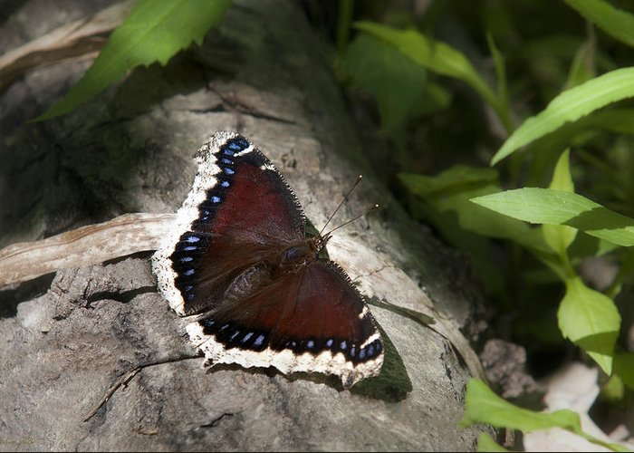Butterfly Greeting Card featuring the photograph Mourning Cloak Butterfly by Christina Rollo