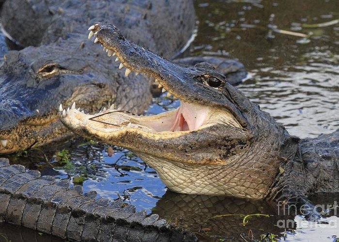 Alligator Greeting Card featuring the photograph Mouth In The Middle by Adam Jewell