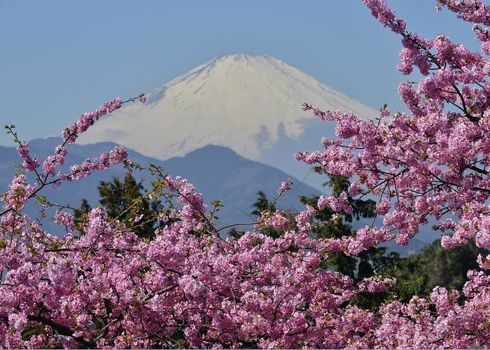 Tranquility Greeting Card featuring the photograph Mt Fuji And Cherry Blossoms by Photos From Japan, Asia And Othe Of The World