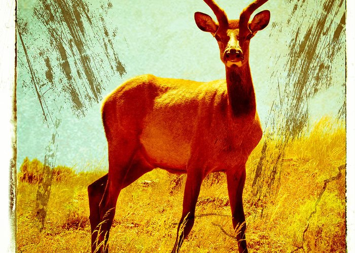 Mule Greeting Card featuring the photograph Mule Deer by Tom Wenger