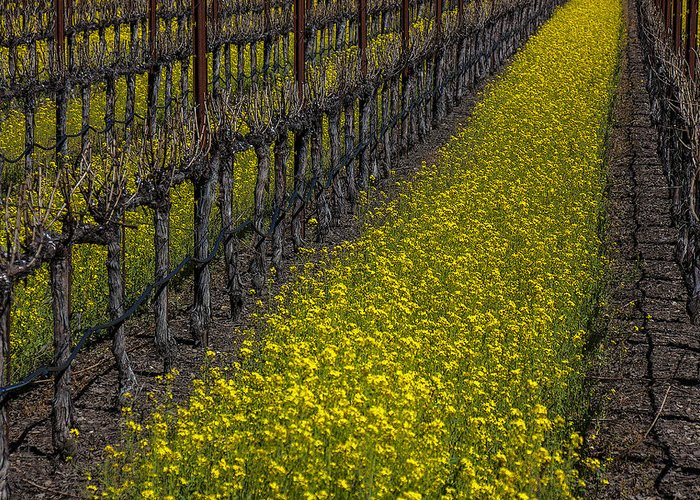 Mustard Grass Greeting Card featuring the photograph Mustrad Grass In The Vineyards by Garry Gay