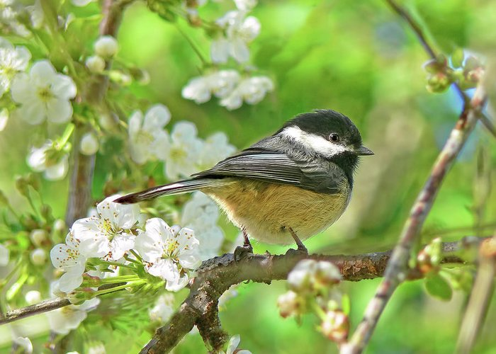 Chickadee Greeting Card featuring the photograph My Little Chickadee In The Cherry Tree by Jennie Marie Schell