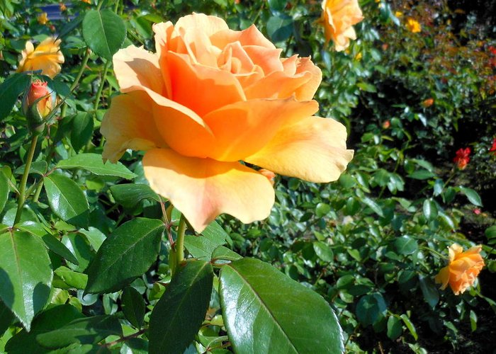 Rose Greeting Card featuring the photograph My Love Is Like A Rose by Kay Gilley