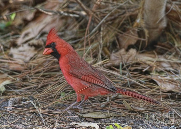 Cardinal Greeting Card featuring the photograph My Name Is Red by Deborah Benoit