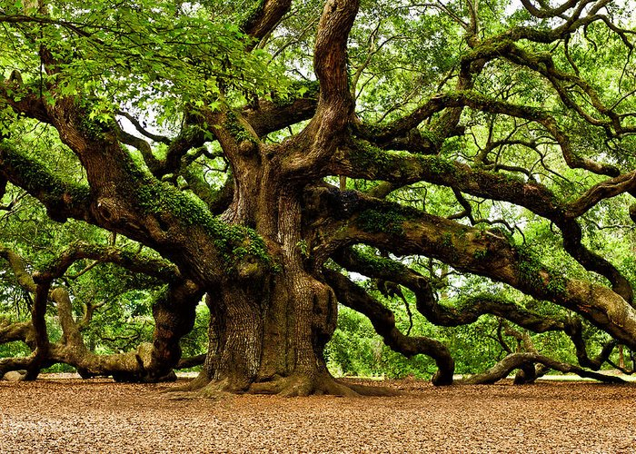 Angel Oak Tree Greeting Card featuring the photograph Mystical Angel Oak Tree by Louis Dallara