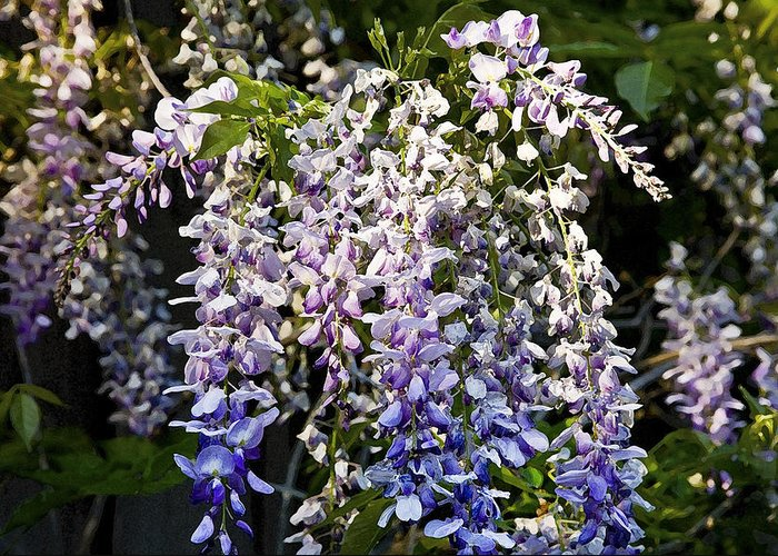 Wisteria Greeting Card featuring the photograph Nancys Wisteria 3 Db by Rich Franco