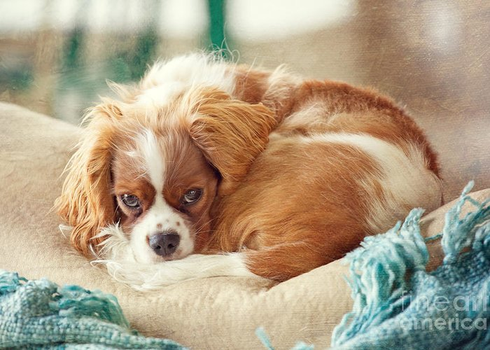 Cavalier King Charles Greeting Card featuring the photograph Napping Puppy by Kay Pickens