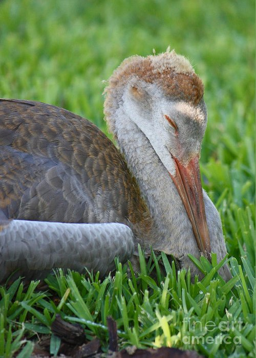Sandhill Crane Chick Greeting Card featuring the photograph Napping Sandhill Baby by Carol Groenen