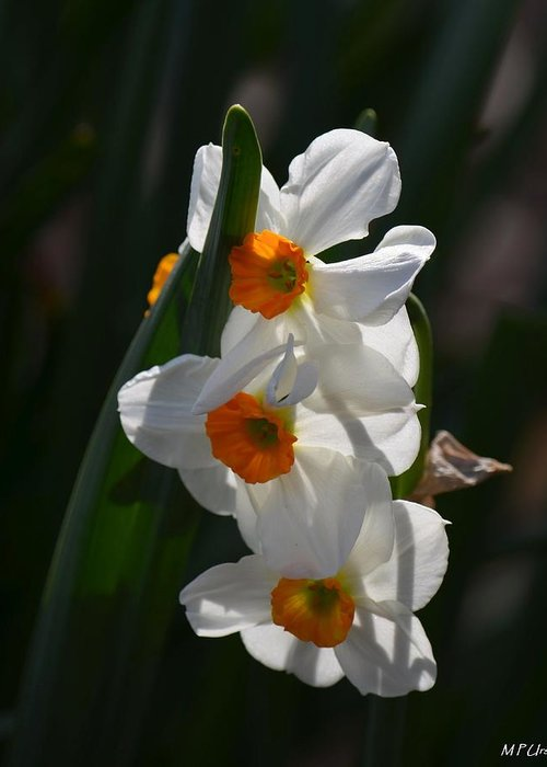 Narcissus Evening Glow Greeting Card featuring the photograph Narcissus Evening Glow by Maria Urso