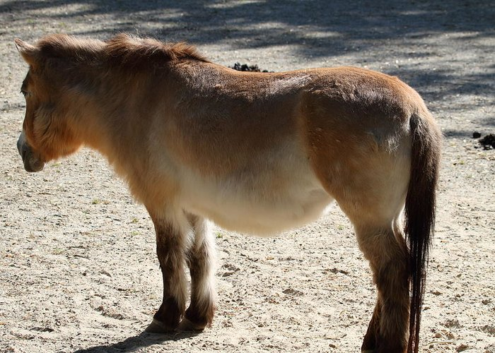 National Greeting Card featuring the photograph National Zoo - Donkey - 01134 by DC Photographer