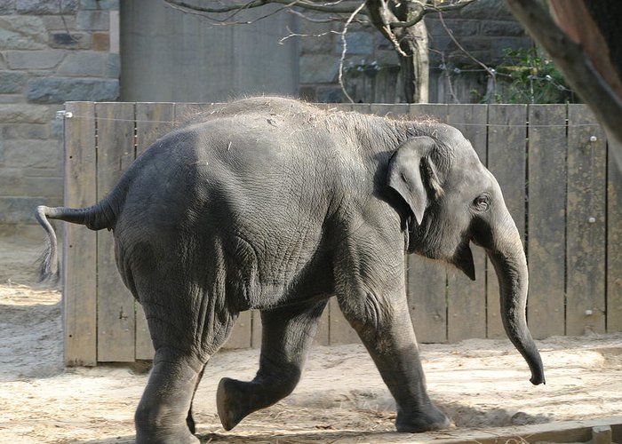 National Greeting Card featuring the photograph National Zoo - Elephant - 12126 by DC Photographer