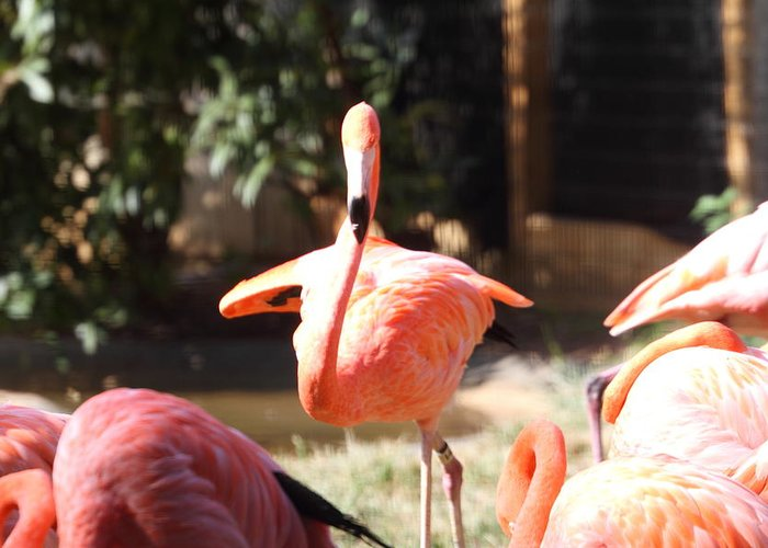 National Greeting Card featuring the photograph National Zoo - Flamingo - 01133 by DC Photographer
