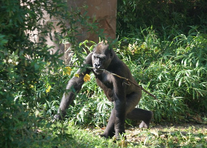 National Greeting Card featuring the photograph National Zoo - Gorilla - 121220 by DC Photographer