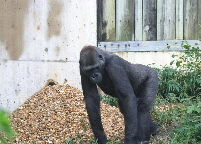 National Greeting Card featuring the photograph National Zoo - Gorilla - 121242 by DC Photographer