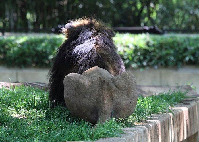 National Greeting Card featuring the photograph National Zoo - Lion - 011314 by DC Photographer