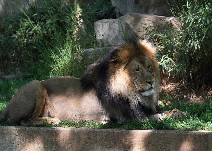 National Greeting Card featuring the photograph National Zoo - Lion - 011317 by DC Photographer