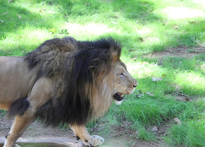 National Greeting Card featuring the photograph National Zoo - Lion - 01135 by DC Photographer