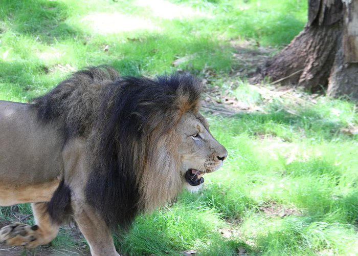 National Greeting Card featuring the photograph National Zoo - Lion - 01136 by DC Photographer
