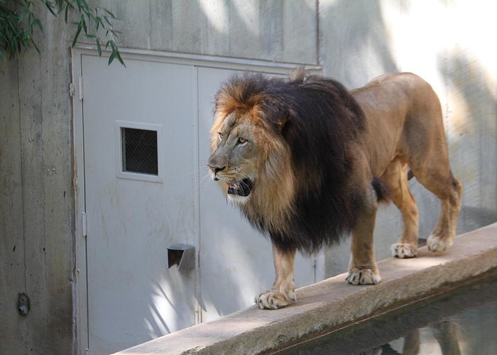 National Greeting Card featuring the photograph National Zoo - Lion - 01138 by DC Photographer
