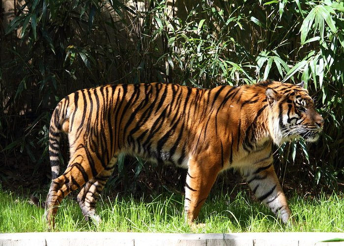 National Greeting Card featuring the photograph National Zoo - Tiger - 01138 by DC Photographer
