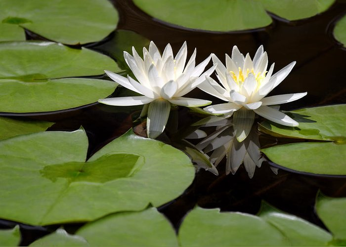 Nature Greeting Card featuring the pyrography Nature's Snow White Water Lilies by Linda Phelps