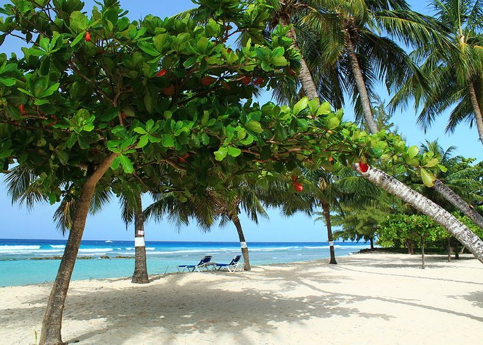 Barbados Greeting Card featuring the photograph Natures Umbrella Tree by Catie Canetti