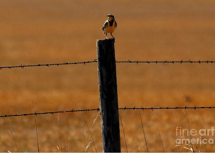 Western Meadowlark Greeting Card featuring the photograph Nebraska's Bird by Elizabeth Winter