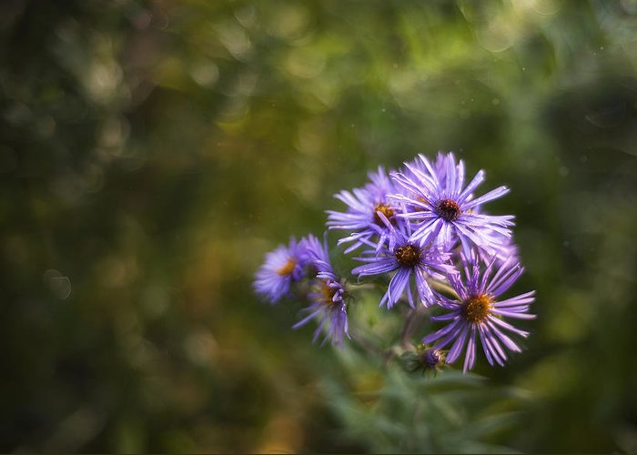 Asters Photographs Greeting Cards