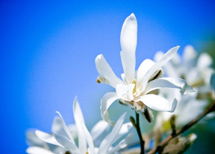 Flowers Greeting Card featuring the photograph New White Magnolia Blossom by Raimond Klavins