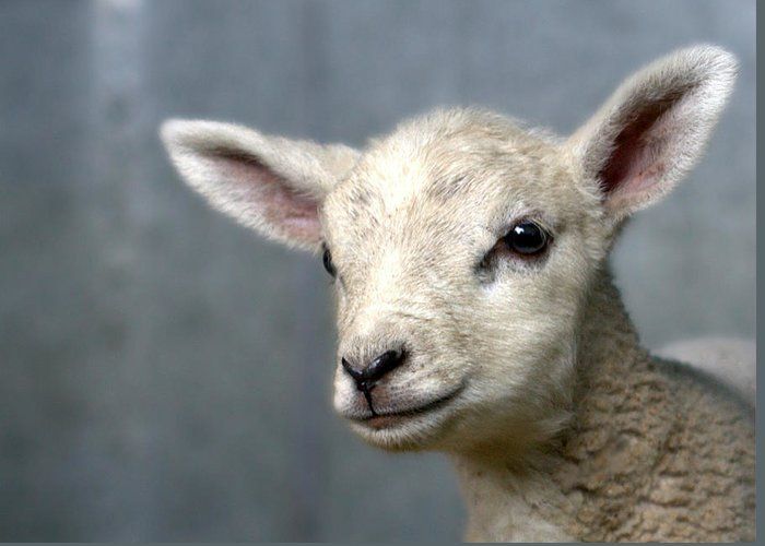 Animal Themes Greeting Card featuring the photograph Newborn Lamb by Bob Van Den Berg Photography