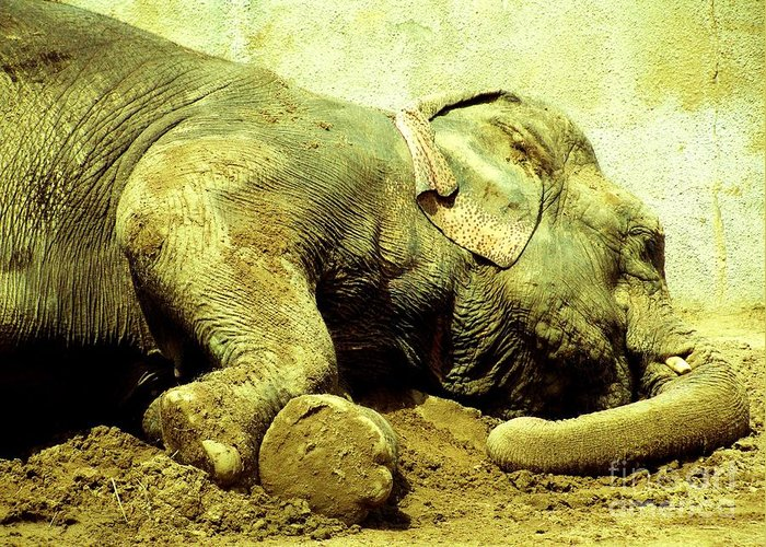 Asian Elephants Greeting Card featuring the photograph Niabi_asian Elephant by Margaret Newcomb