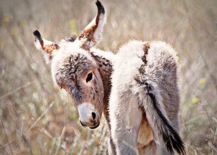 Wild Baby Burro Greeting Card featuring the photograph Nice End by Laura Cowen