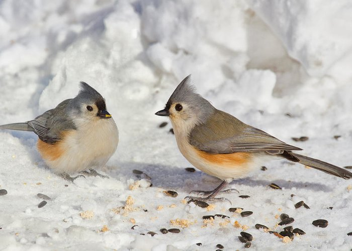 Birds Greeting Card featuring the photograph Nice Pair Of Titmice by John Absher